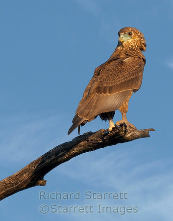 Brown snake eagle.  Note bare legs.