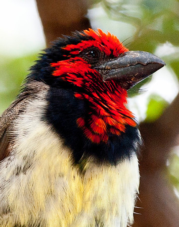 Blackcollared Barbet