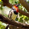 Blackcollared Barbet with insect