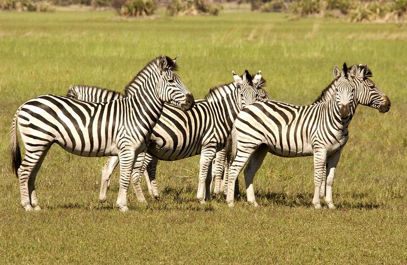 Small Zebra herd