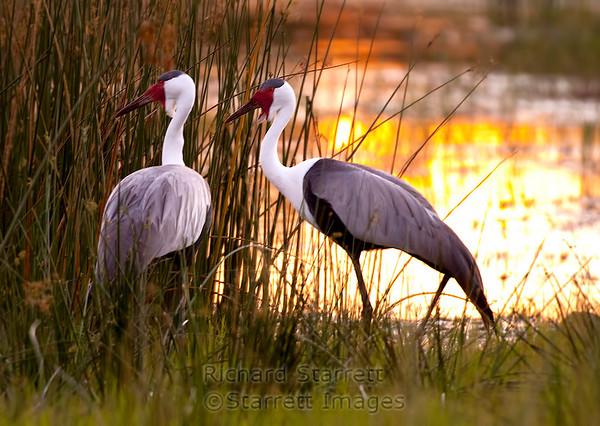 Wattled cranes at dusk