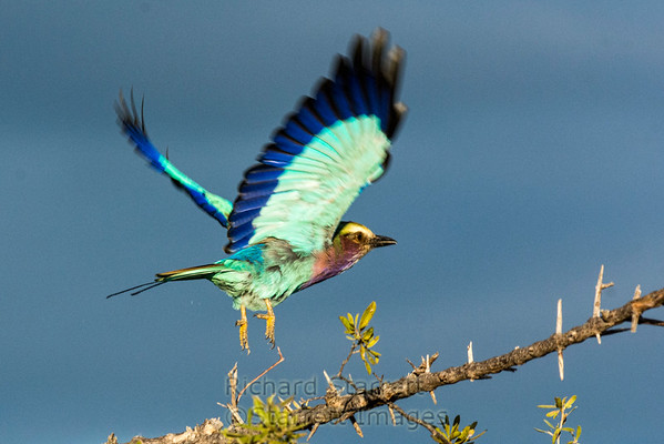 Lilac breasted roller takeoff