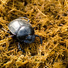 Dung beatle, fresh elephant dung