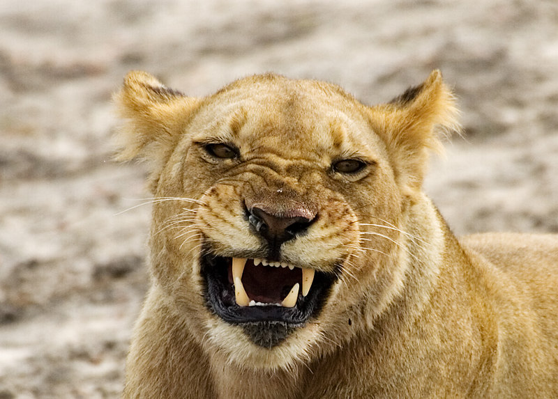 Lioness in a bad mood