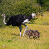 male ostrich with two babies