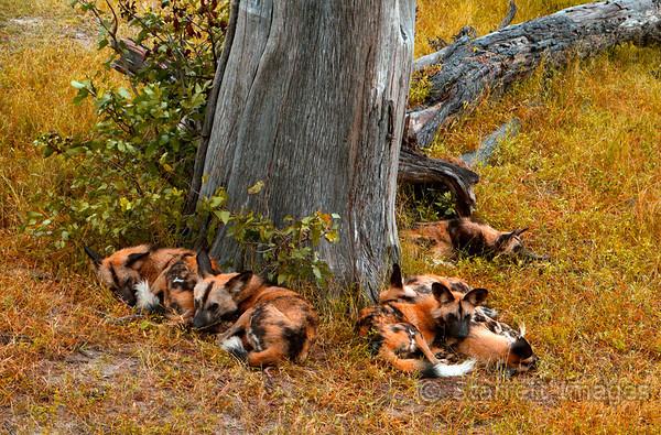 Wild dog pack at rest