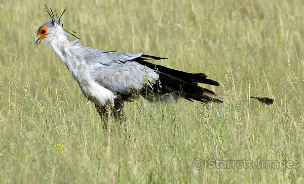 Secretary bird.  These large birds are distant relatives of raptors and vultures, but have their own taxonomic family.  They can stand 3-4ft tall and are mostly terrestrial