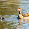 Egyptian goose with chick