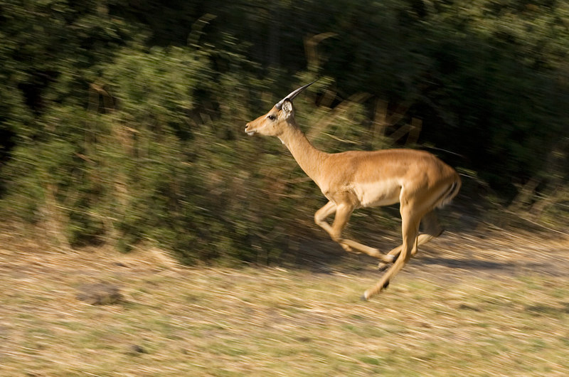 Young male impala on the run