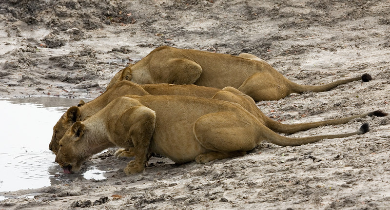 Lionesses drinking at kill site