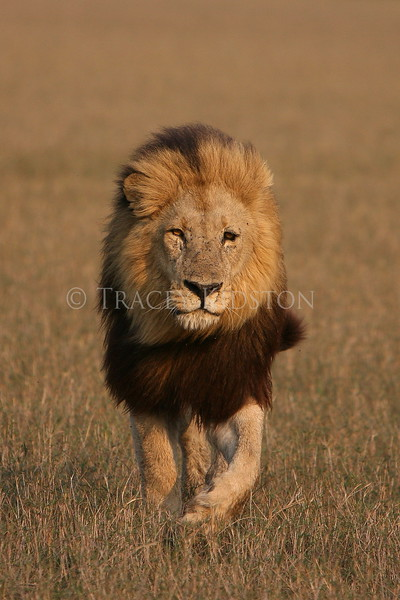 African Lion (Panthera leo)<br /> You may purchase a print or a digital download. If purchasing a digital download please look at the licensing agreement terms for personal or commercial use.