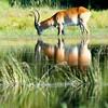 Male impala drinking