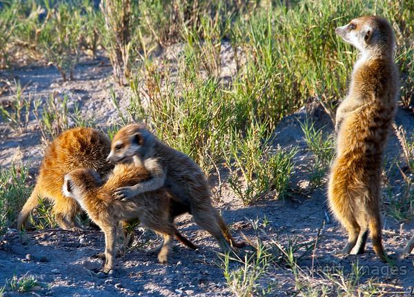 Meerkat at play