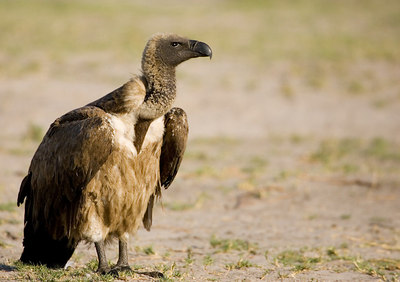 White backed Vulture