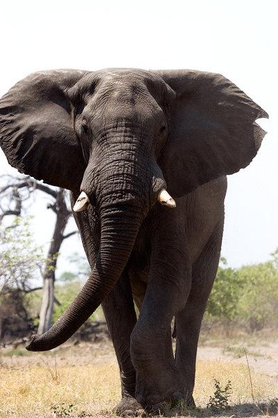 Angry elephant!!