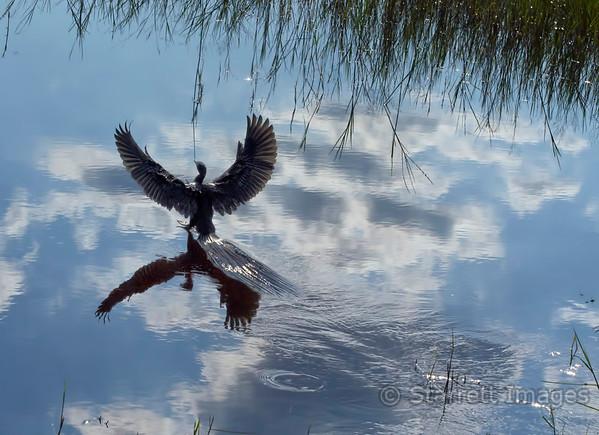 Slaty egret landing
