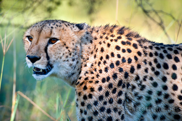 "Cheetah, note the ""tear"" lines which clearly distinguish him from a leopard."