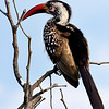 "Red-billed hornbill, the ""flying chili pepper"""