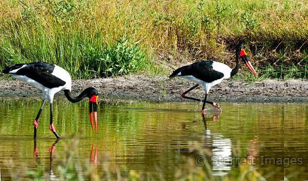 Saddlebilled Stork