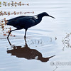 Black egret (also called heron).  They create a shadow with their wings, then wiggle their bright yellow toes within the shadow to attract small fish.