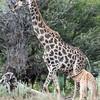 Giraffe nursing
