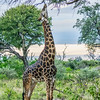 Giraffe, eating from tree with his prehensile tongue