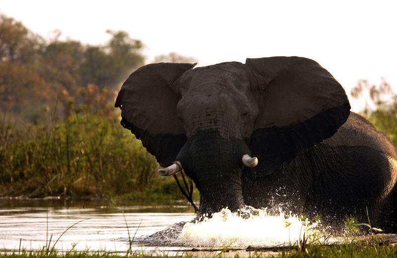 Elephant in Linyati river