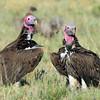 lapet-faced vultures