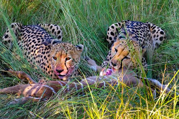 Cheetah brothers  with a kill, a small kudu.