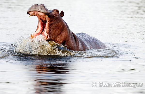 Hippopotamus display
