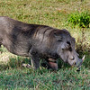 Warthog, on his knees eating.  They have short necks and must kneel to forage.