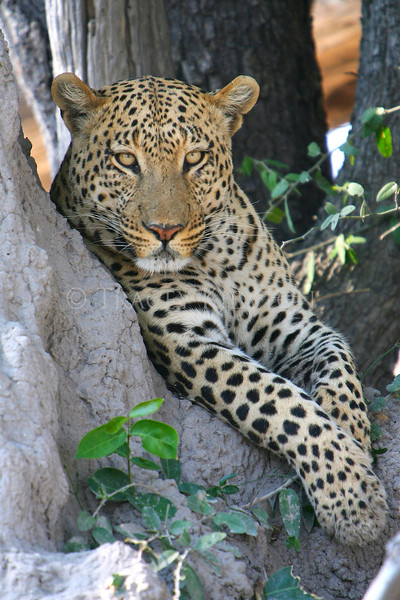 African Leopard (Panthera pardus pardus)<br /> You may purchase a print or a digital download. If purchasing a digital download please look at the licensing agreement terms for personal or commercial use.