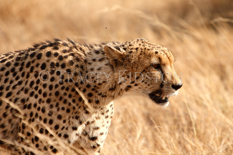 Cheetah (Acinonyx jubatus)<br /> <br /> You may purchase a print or a digital download. If purchasing a digital download please look at the licensing agreement terms for personal or commercial use.