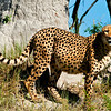 Cheetah scent marking