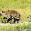 Spotted hyena , two pups are hers, the other lagging behind is another hyena's pup.