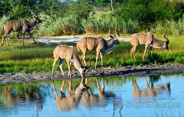 Kudu drinking