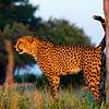 Cheetah scent marking