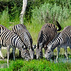 zebras, drinking