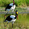 Saddlebilled Storks