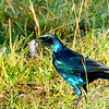 Burchell's Starling with mouse
