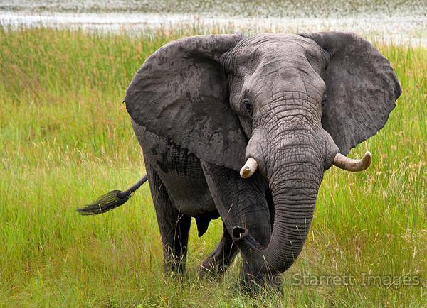 Elephant charging us