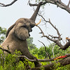 Elephant pulling down tree branch