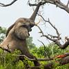 Elephant pulling down tree branch
