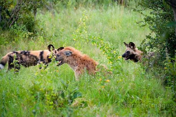 African wild dogs, facing off a hyena.  They eventually surrounded him and drove him away.