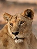 Lioness (Panthera leo)<br /> <br /> You may purchase a print or a digital download. If purchasing a digital download please look at the licensing agreement terms for personal or commercial use.