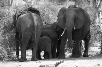 Small elephant herd at the Chobe river