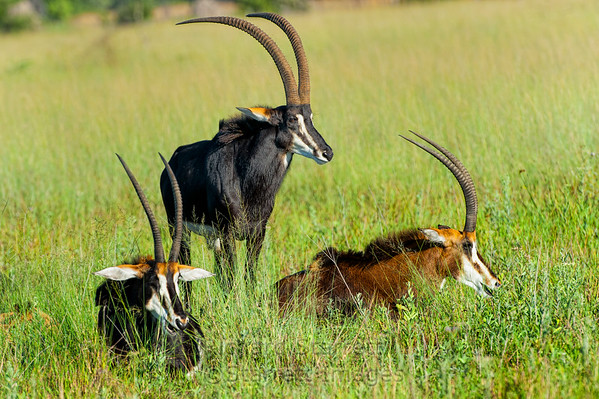 Sable antelope, the large black one is the dominant male.