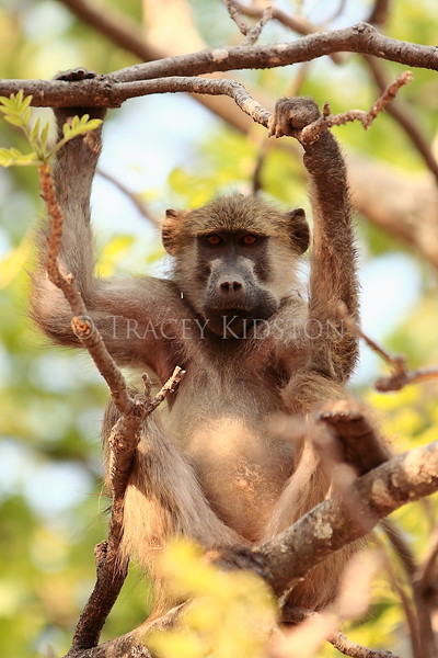 Chacma Baboon (Papio ursinus)<br /> <br /> You may purchase a print or a digital download. If purchasing a digital download please look at the licensing agreement terms for personal or commercial use.