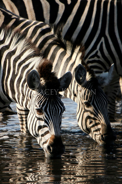 Plains Zebra (Equus quagga)<br /> <br /> You may purchase a print or a digital download. If purchasing a digital download please look at the licensing agreement terms for personal or commercial use.