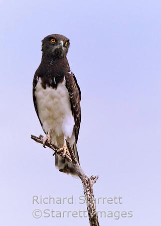 Blackbreasted snake eagle